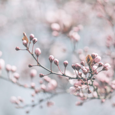 Closeup of spring pastel blooming flower in orchard. Macro cherry blossom tree branch. Beautiful idyllic japanese garden. Easter wallpaper background design.